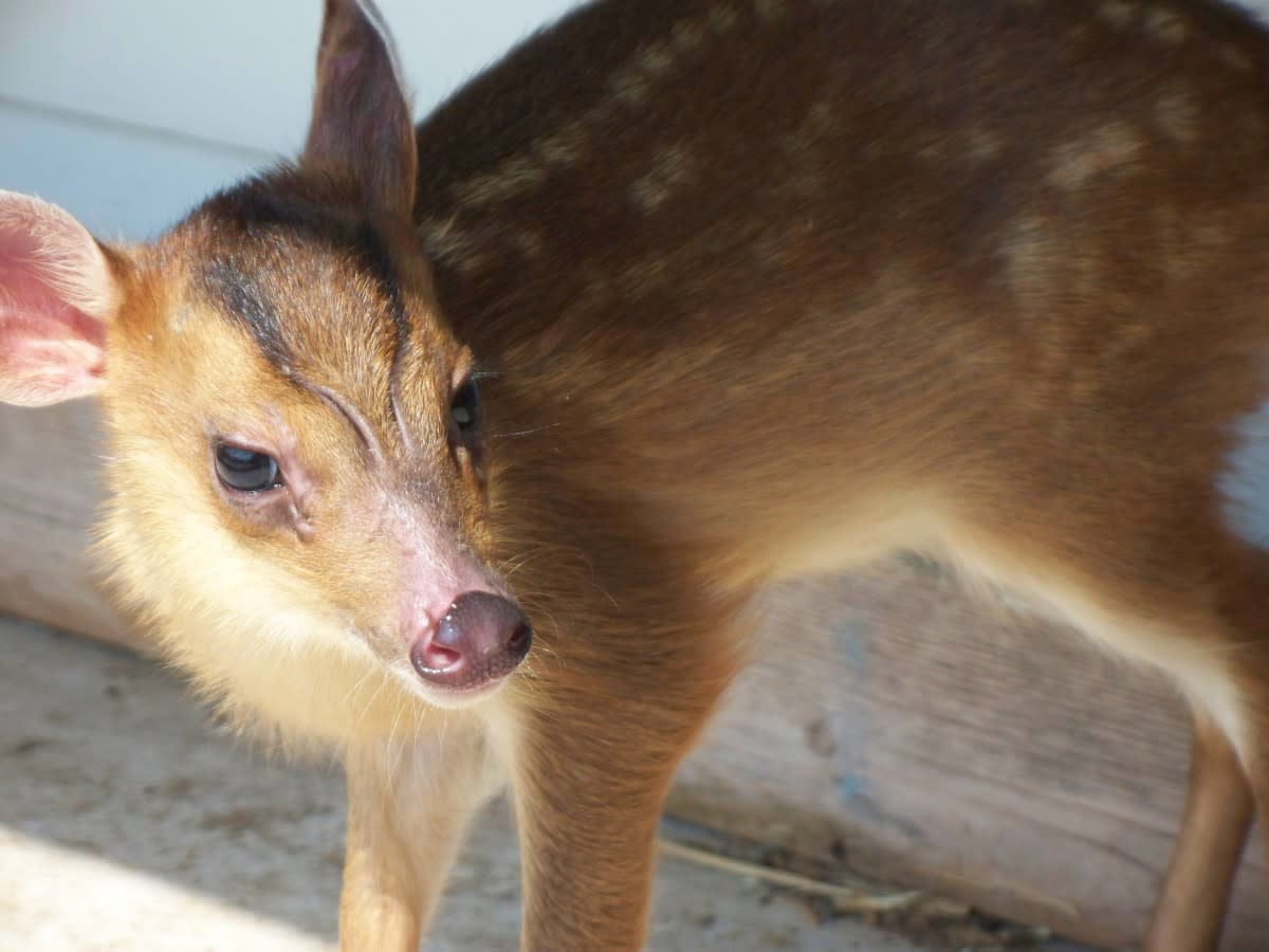An adorable baby muntjac.