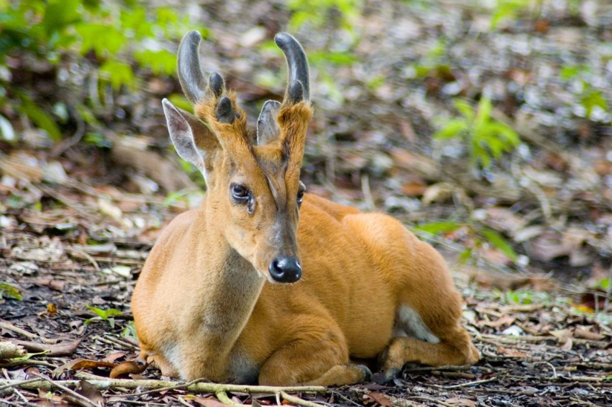 The muntjac is almost the world's smallest deer!