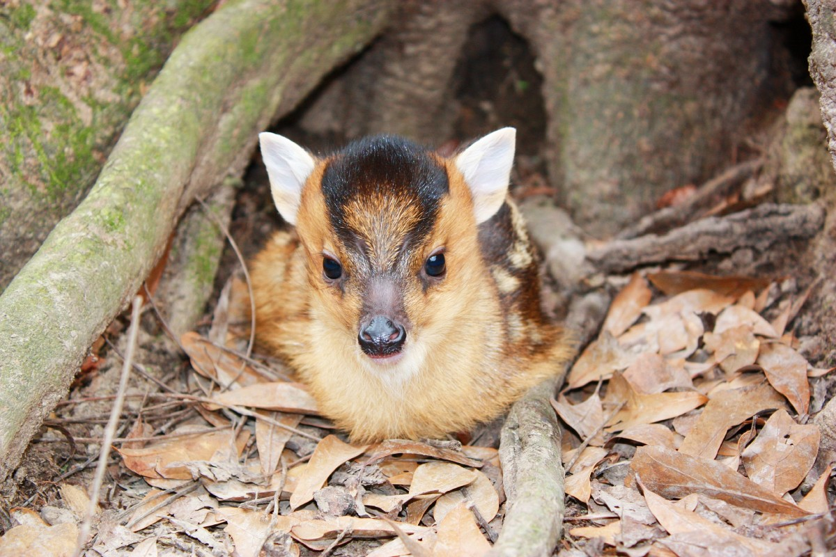 A fuzzy baby muntjac. With a hairstyle.