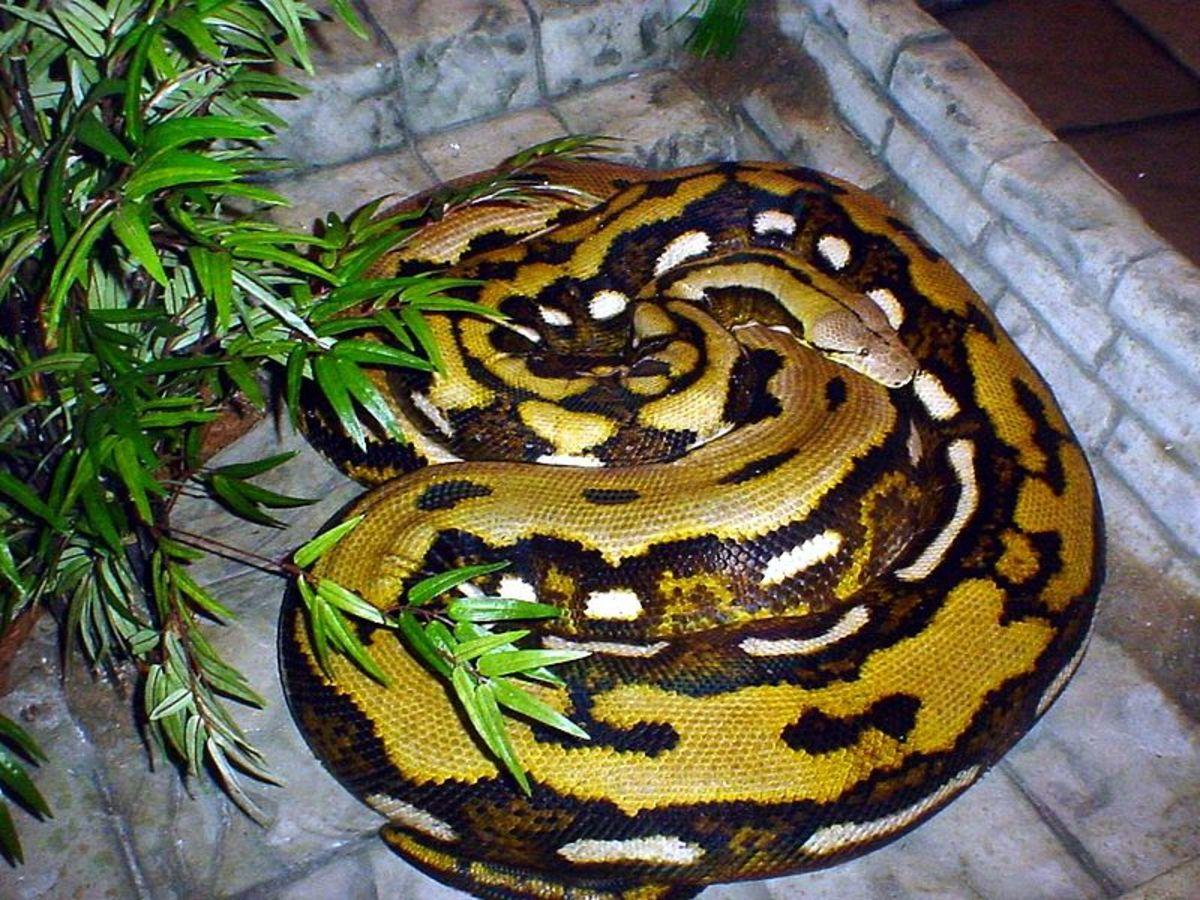 What Non-Venomous Snakes Are Dangerous to Humans?