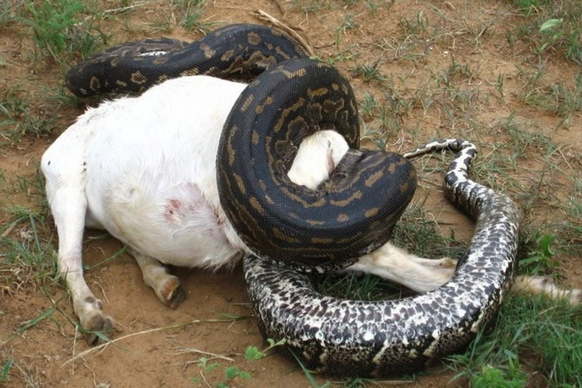 what-non-venomous-snake-are-dangerous-to-humans