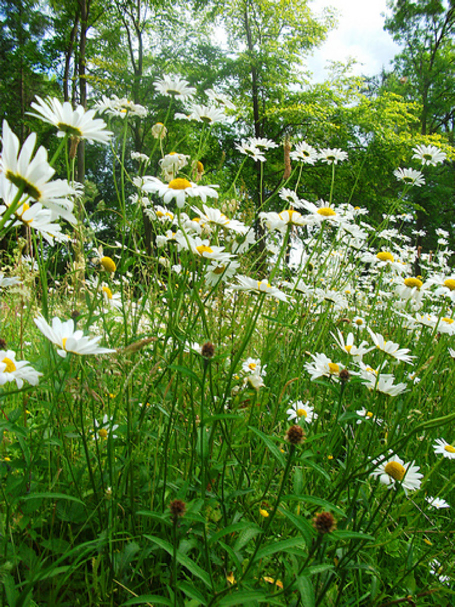He Loves Me, He Loves Me Not Daisy Poem and Game with Daisies