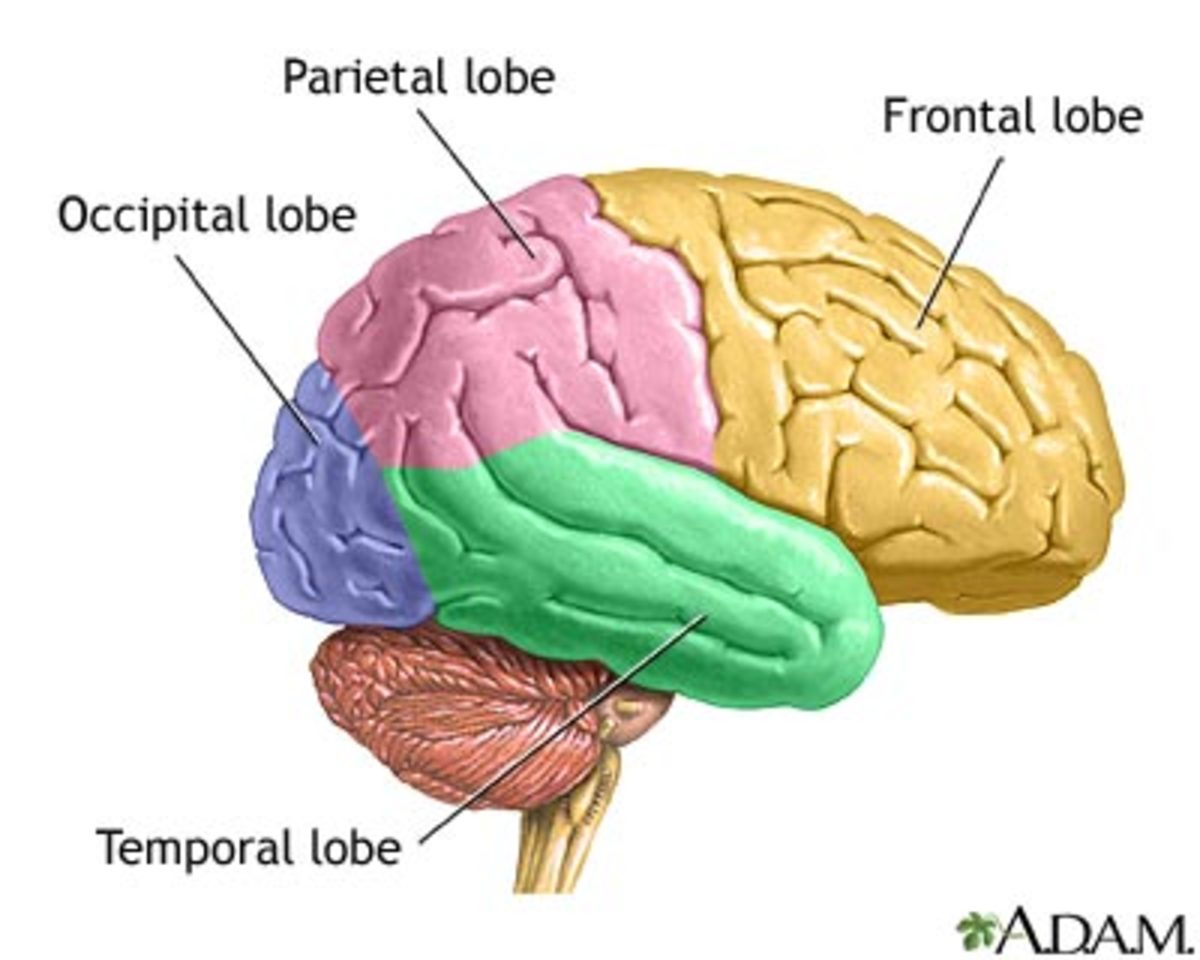 The four lobes of the brain hubpages httpnlmhmedlineplusency ccuart Images