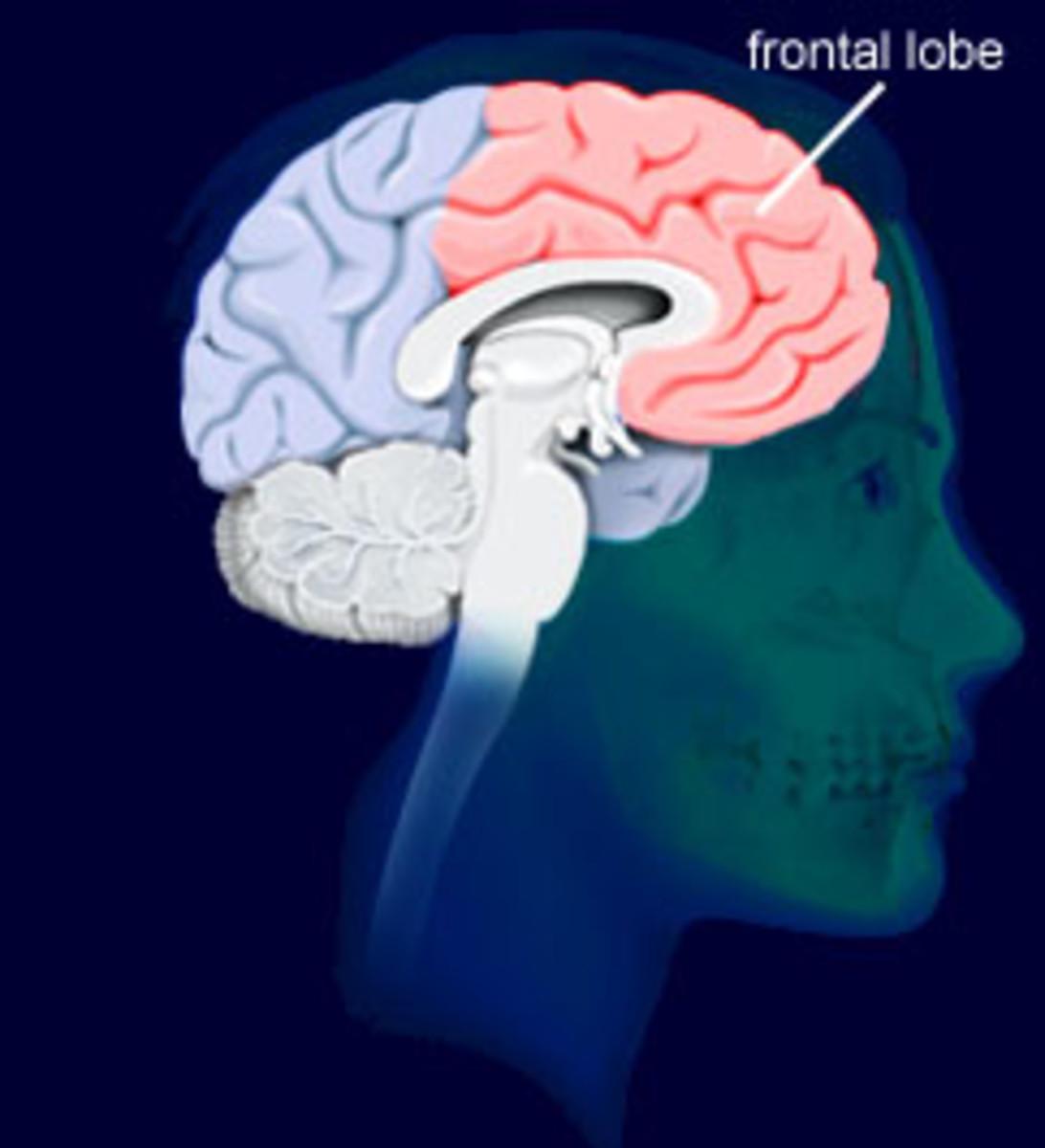 http://www.brainexplorer.org/brain-images/frontal_lobe.jpg