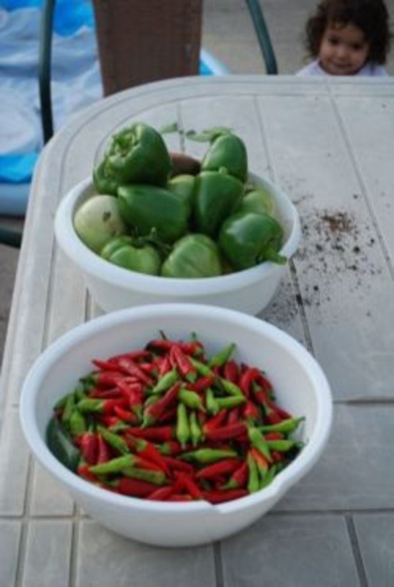 harvesting all the peppers
