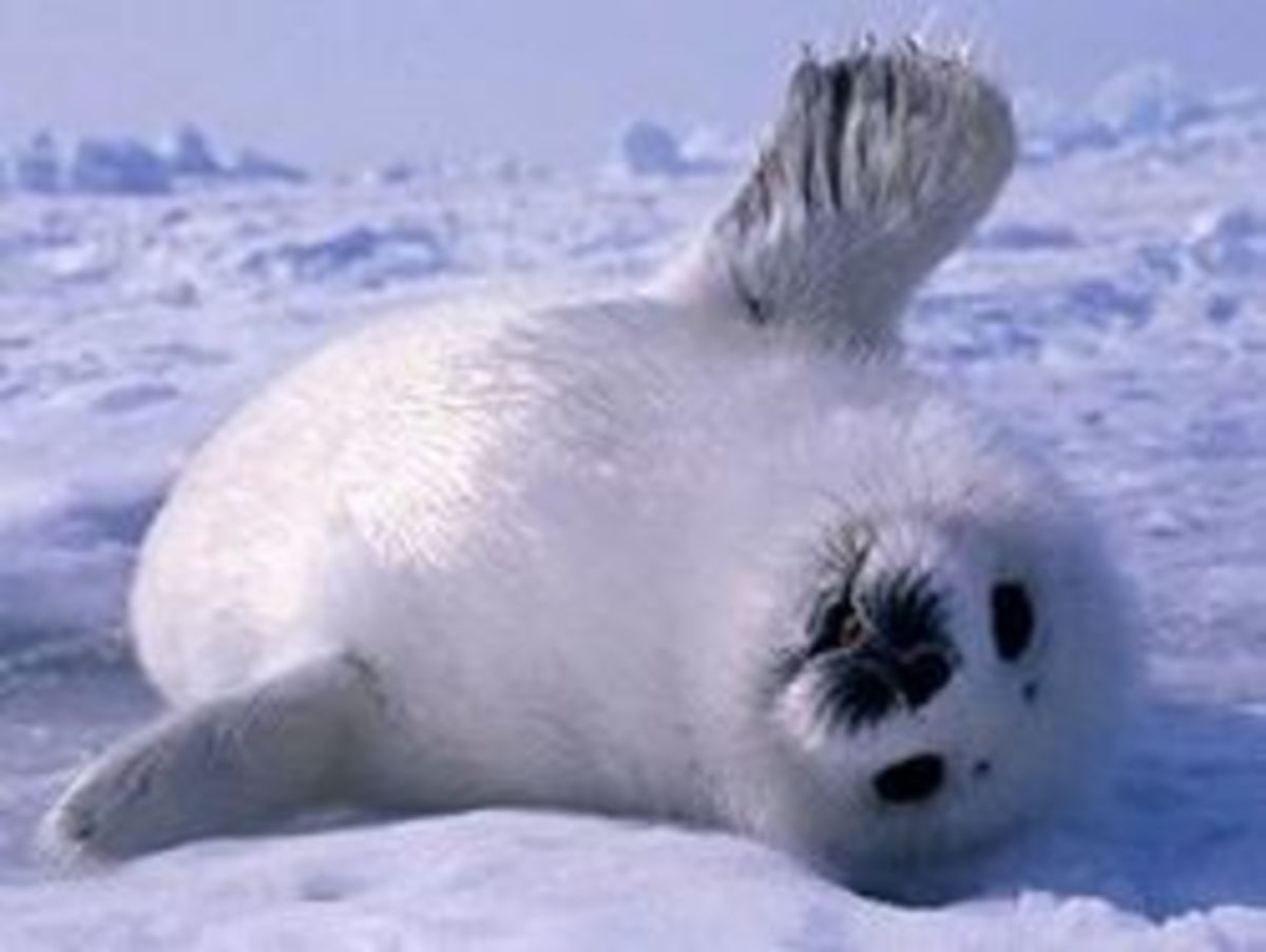Save Baby Seals
