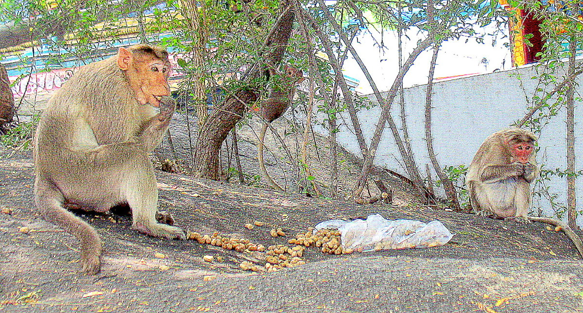 One Group of Monkeys will fight other and kill after the fight both sides monkeys are buried unitedly and separate.