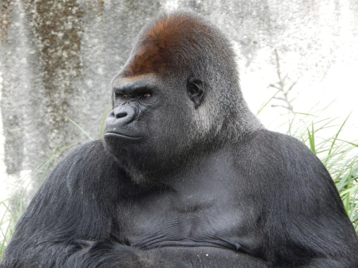 Western Lowland Gorrilla: Gorilla gorilla