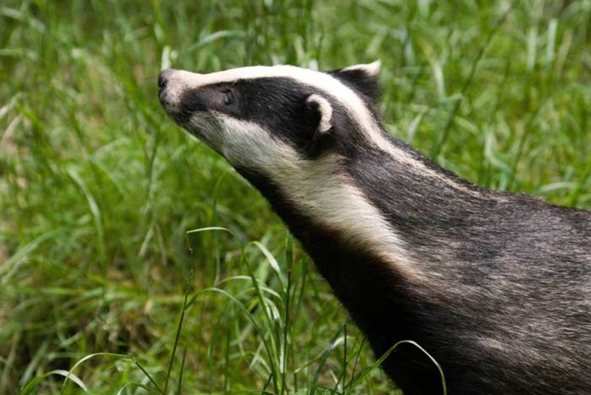 Badger or Brock or Bawson? Linnaeus called it Meles meles,