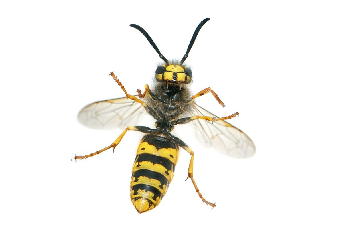 Vespula germanica (German wasp)
