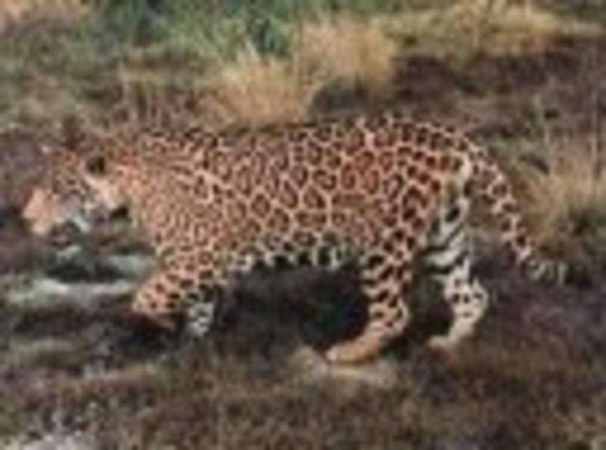 top-10-largest-land-carnivores