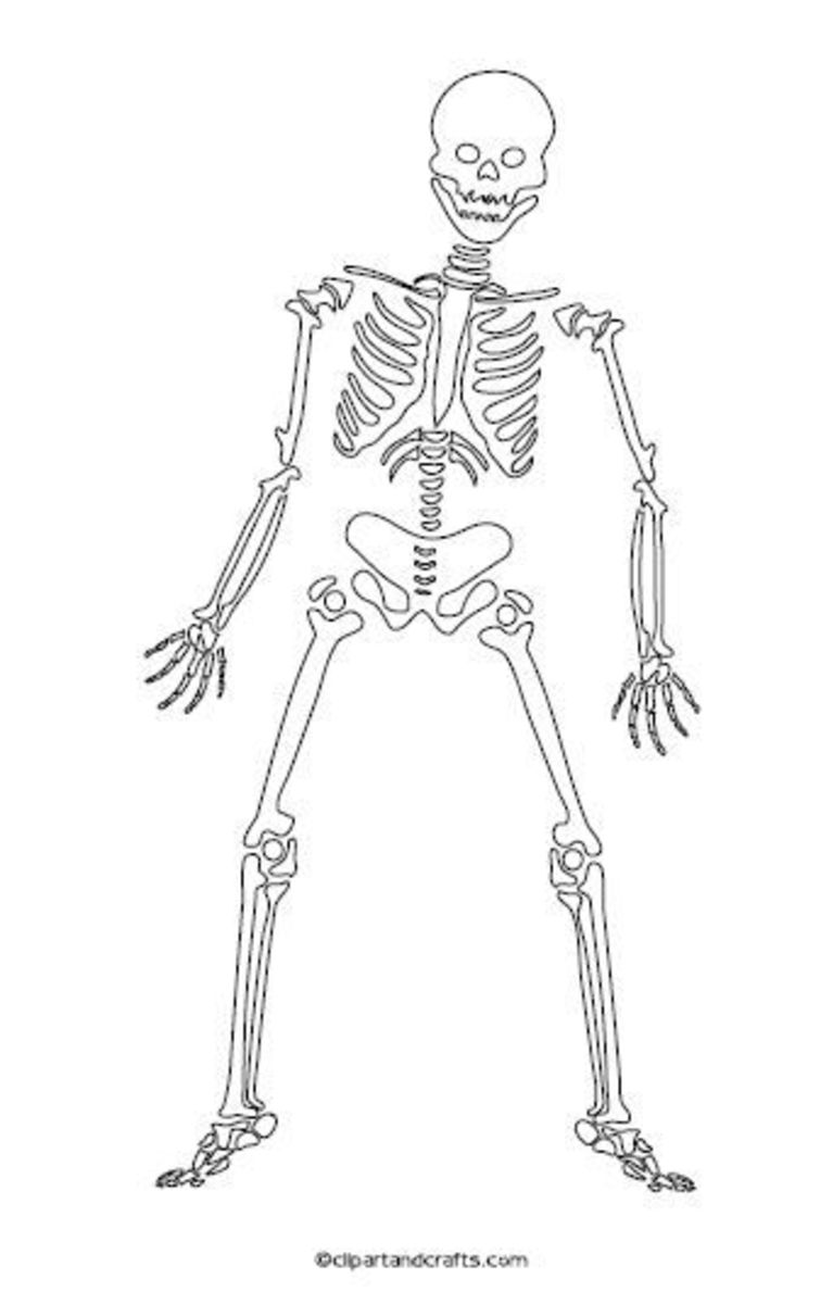 skeleton outline Printable blank outline diagram of the human skeleton  test yourself: fill in the blanks #.