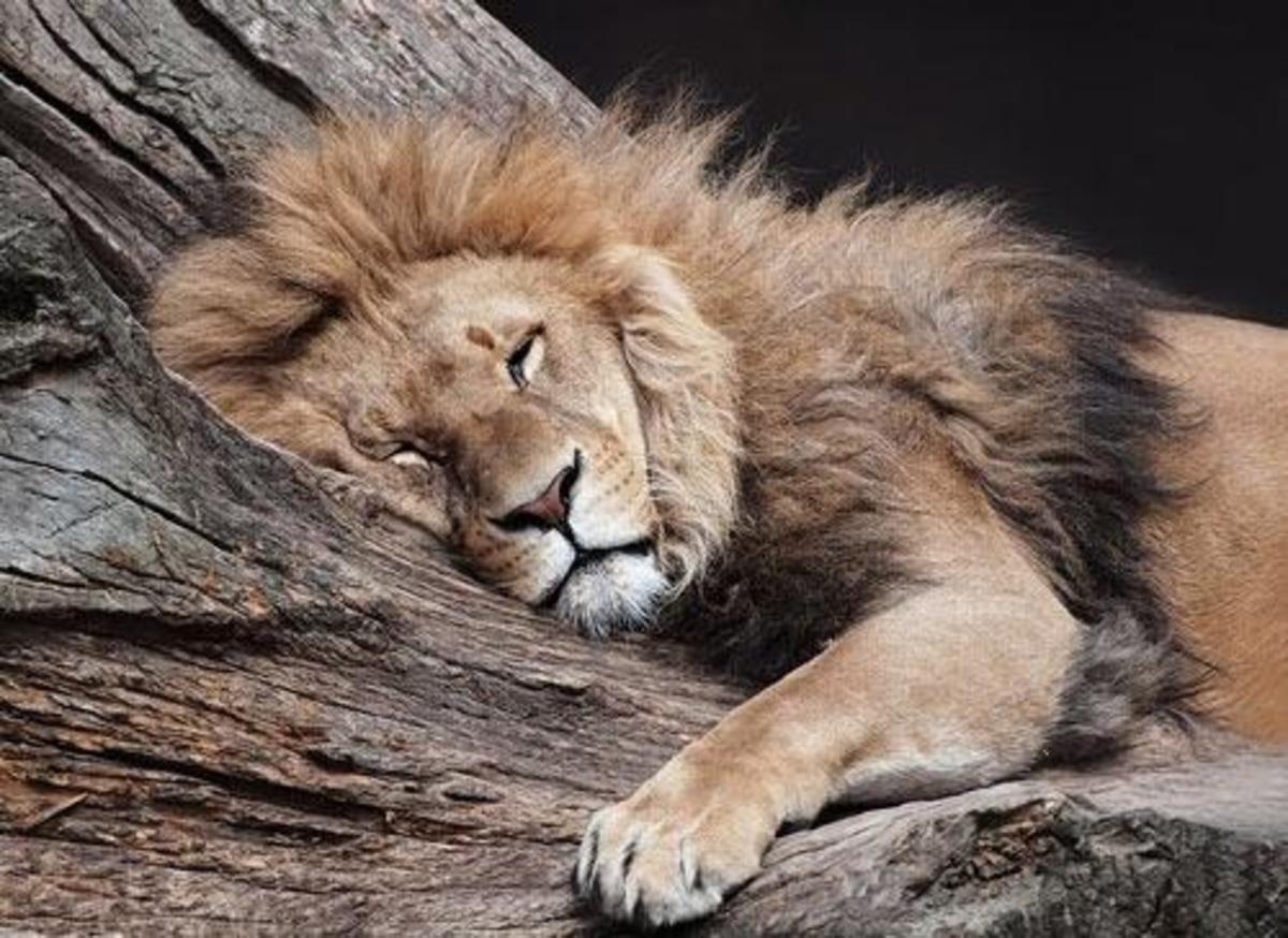 The Lion Sleeps Tonight [Poem]