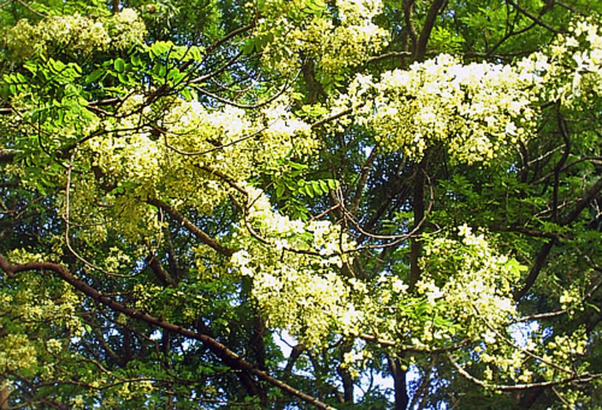 White shower tree