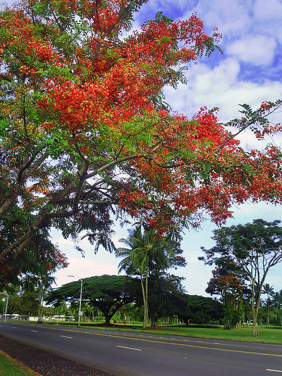 Rainbow shower trees along Kamehameha Ave on Hilo bayfront.