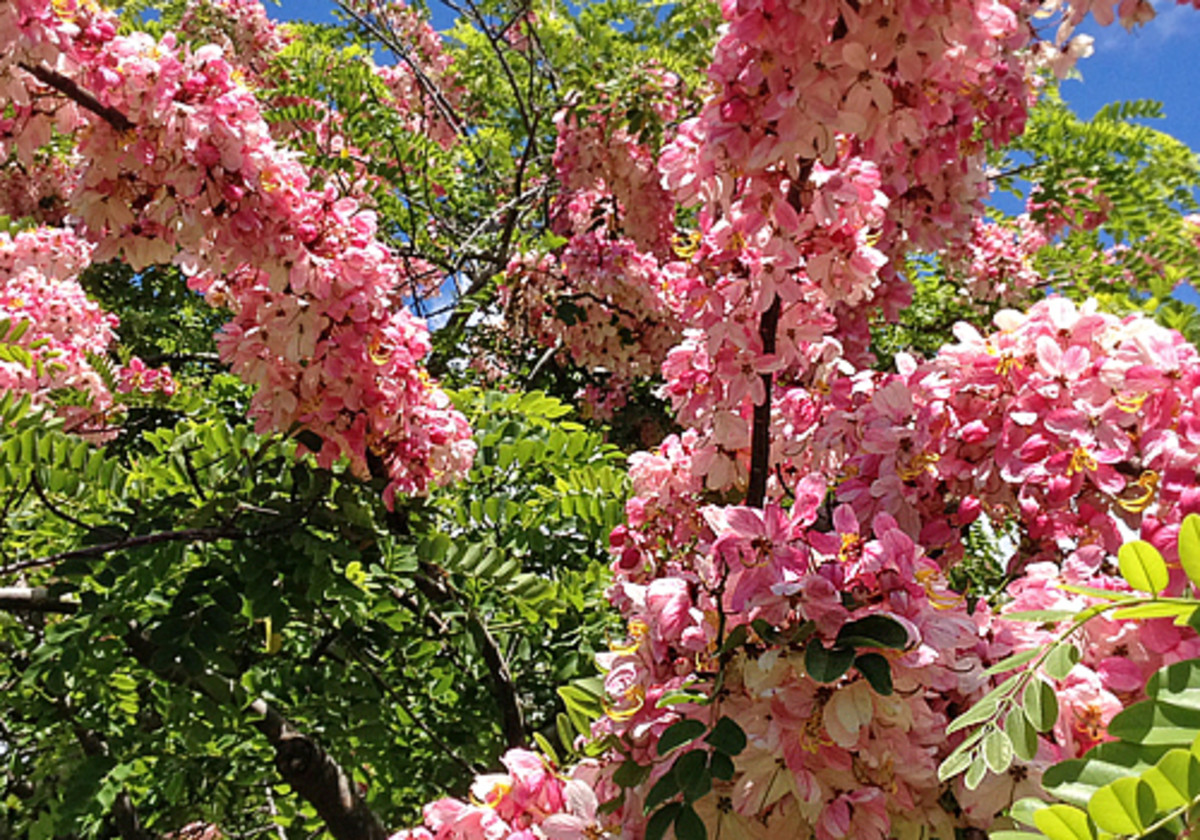 Pink shower tree