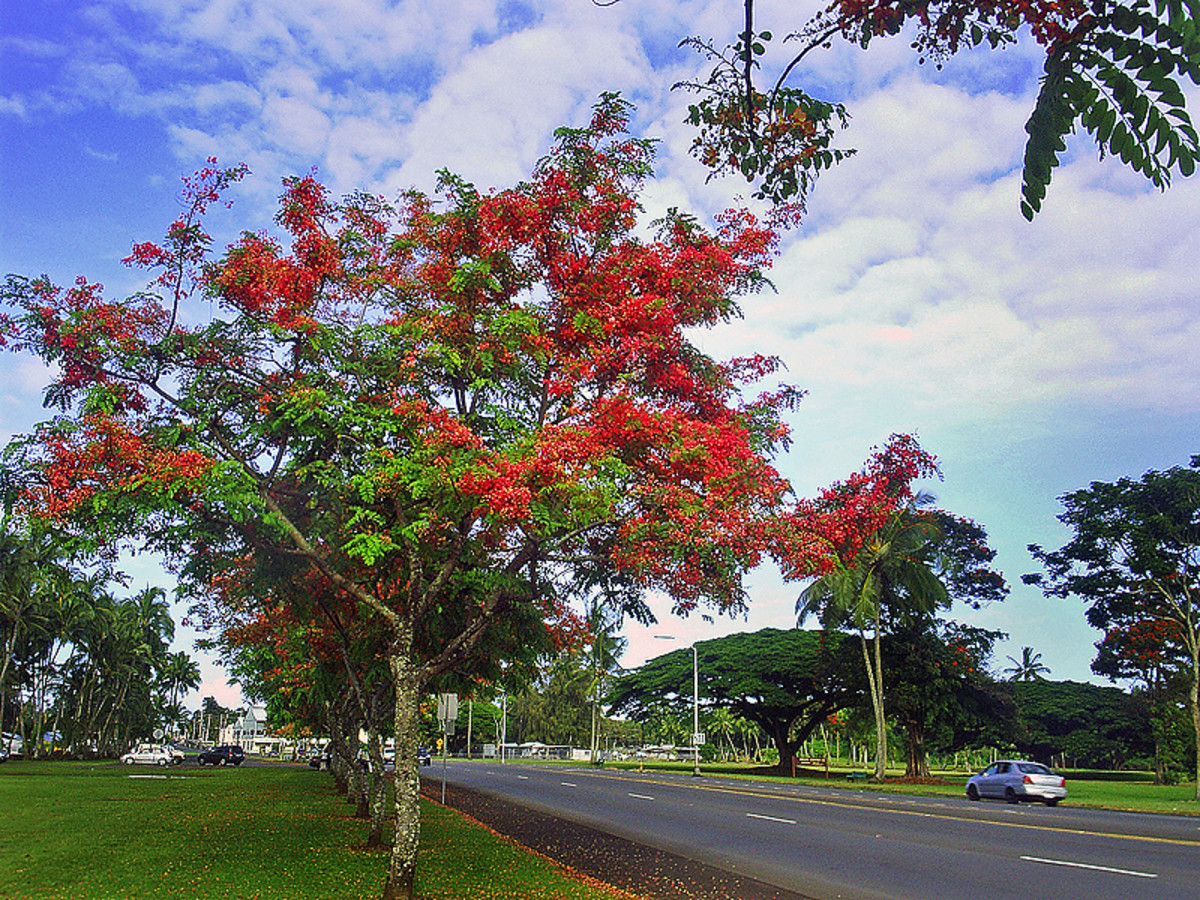 Rainbow shower blooming season in Hilo.