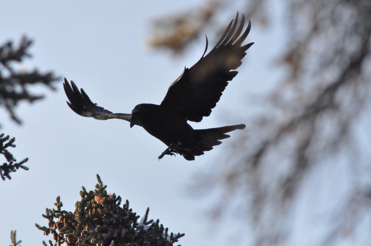 animal-spirit-guides-the-raven
