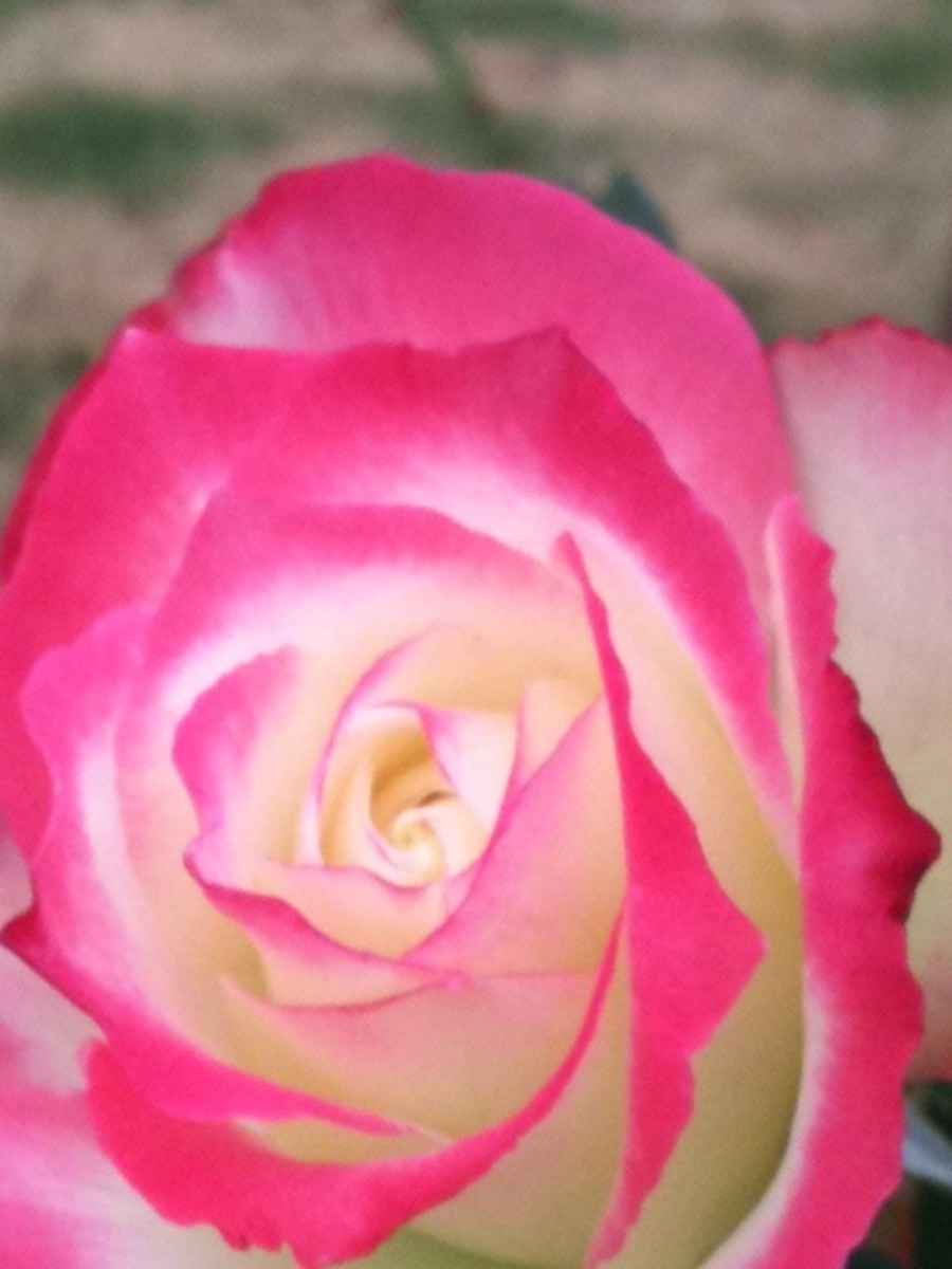 Therapeutic grade rose essential oil is often used in cosmetics, particularly perfumes and skin creams and as a part of healing aromatherapy.