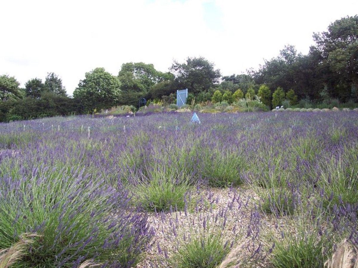 Lavender essential oil is very popular for its fragrance and other properties.