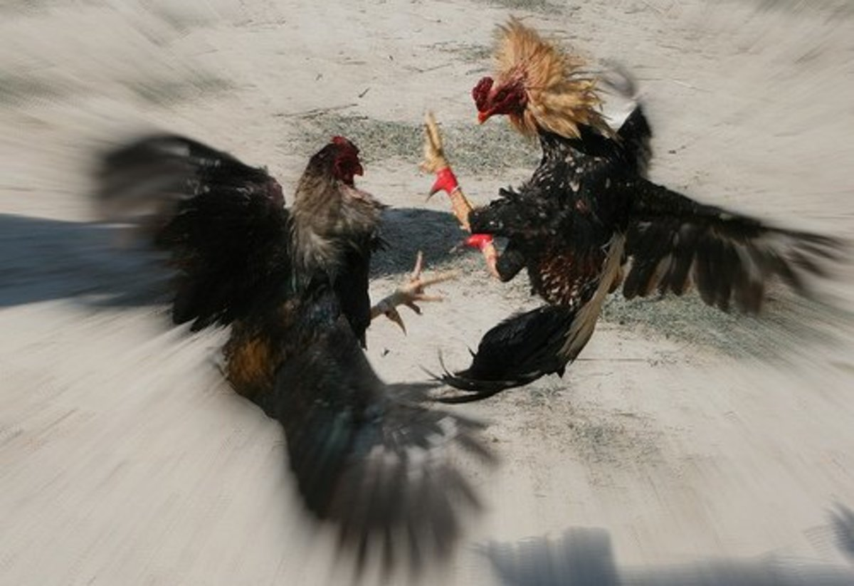 Critique of Clifford Geertz's Research Methods in  Deep Play: Notes on the Balinese Cock-fight,