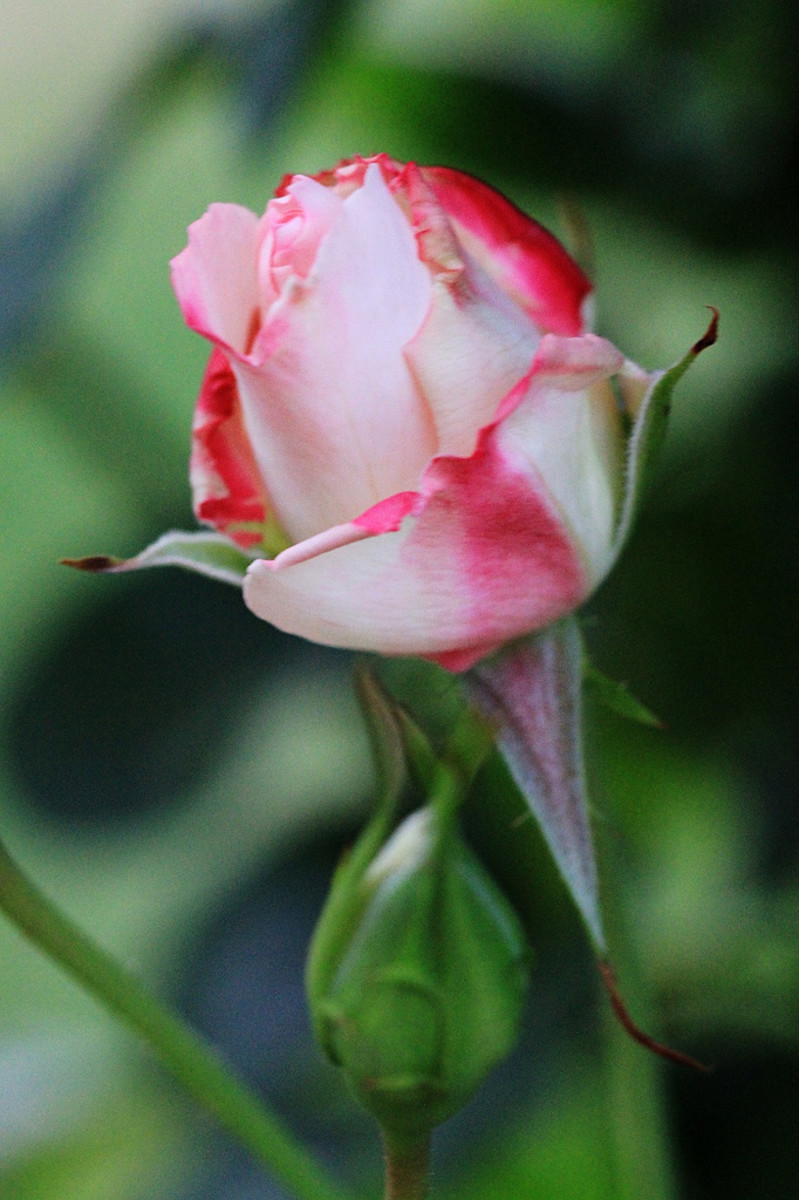 This close up view of a Rose Bud allows you to study the curves of the petals, the blending of the colors, and the different textures.
