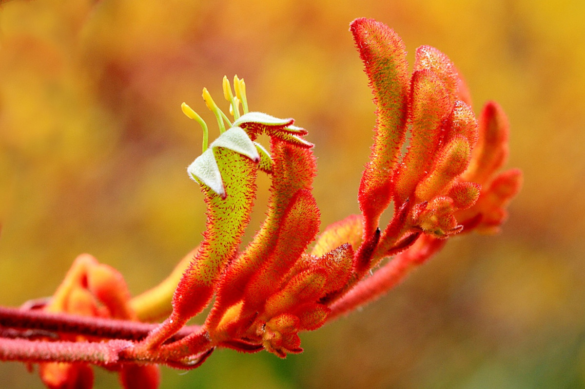 The furry texture of this Kangaroo Paw (Prometheus) is more easily seen through the use of macrophotography.
