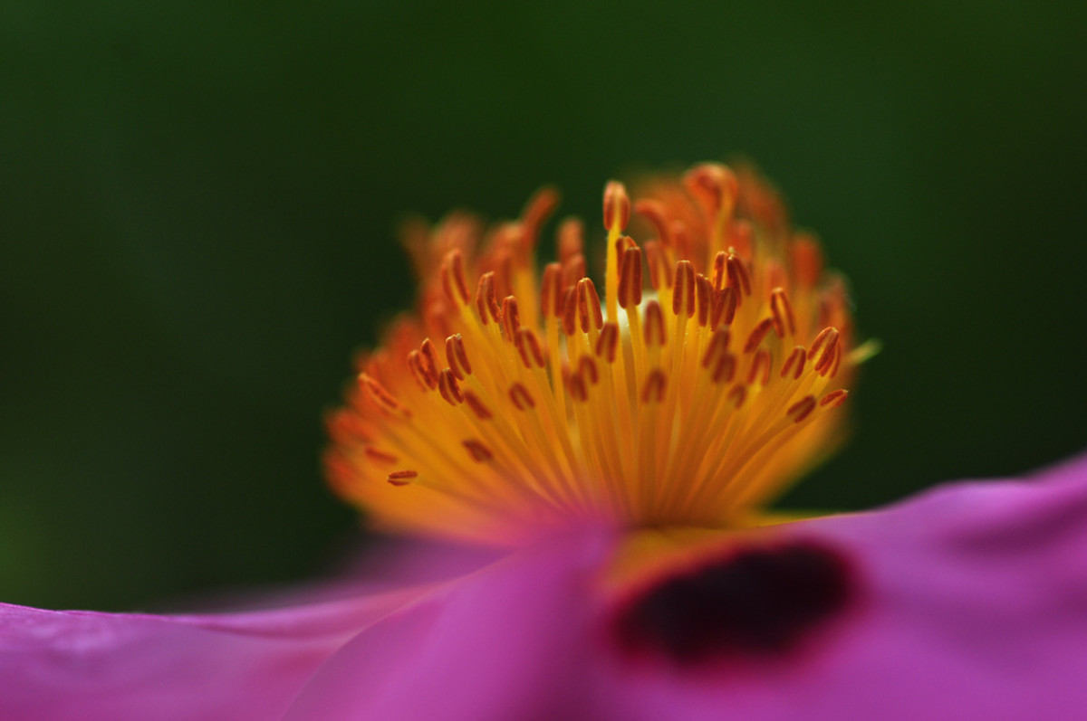 Stamens of this Rock Rose appear in all their glory when highlighted by the sun!