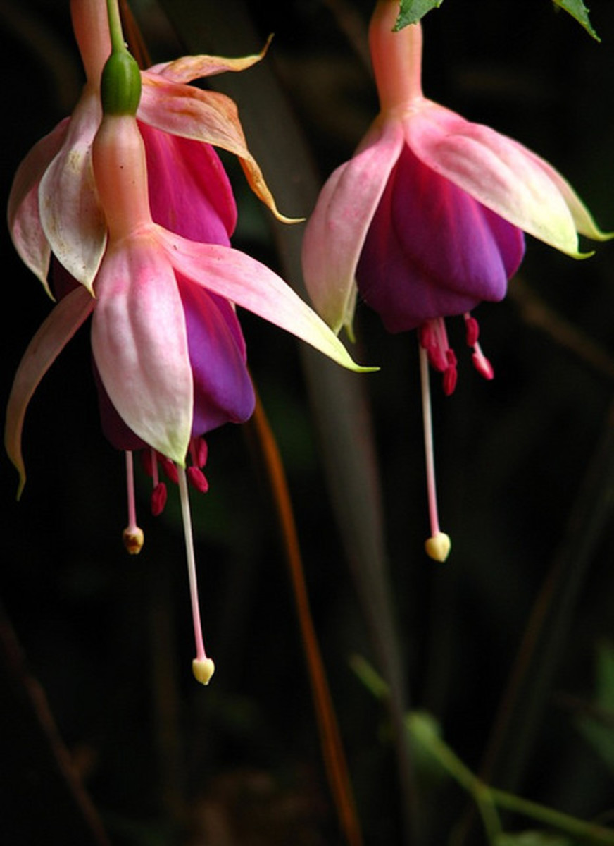 Fuchsia: The graceful lines, blending of colors and the amazing textures are revealed when looking at these flowers close-up.