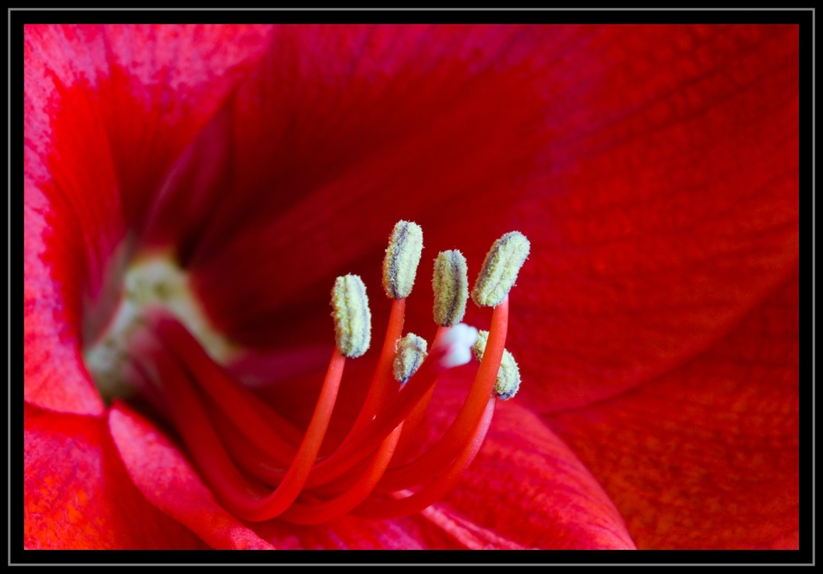 The stamens in this Amaryllis are crowned with pollen.