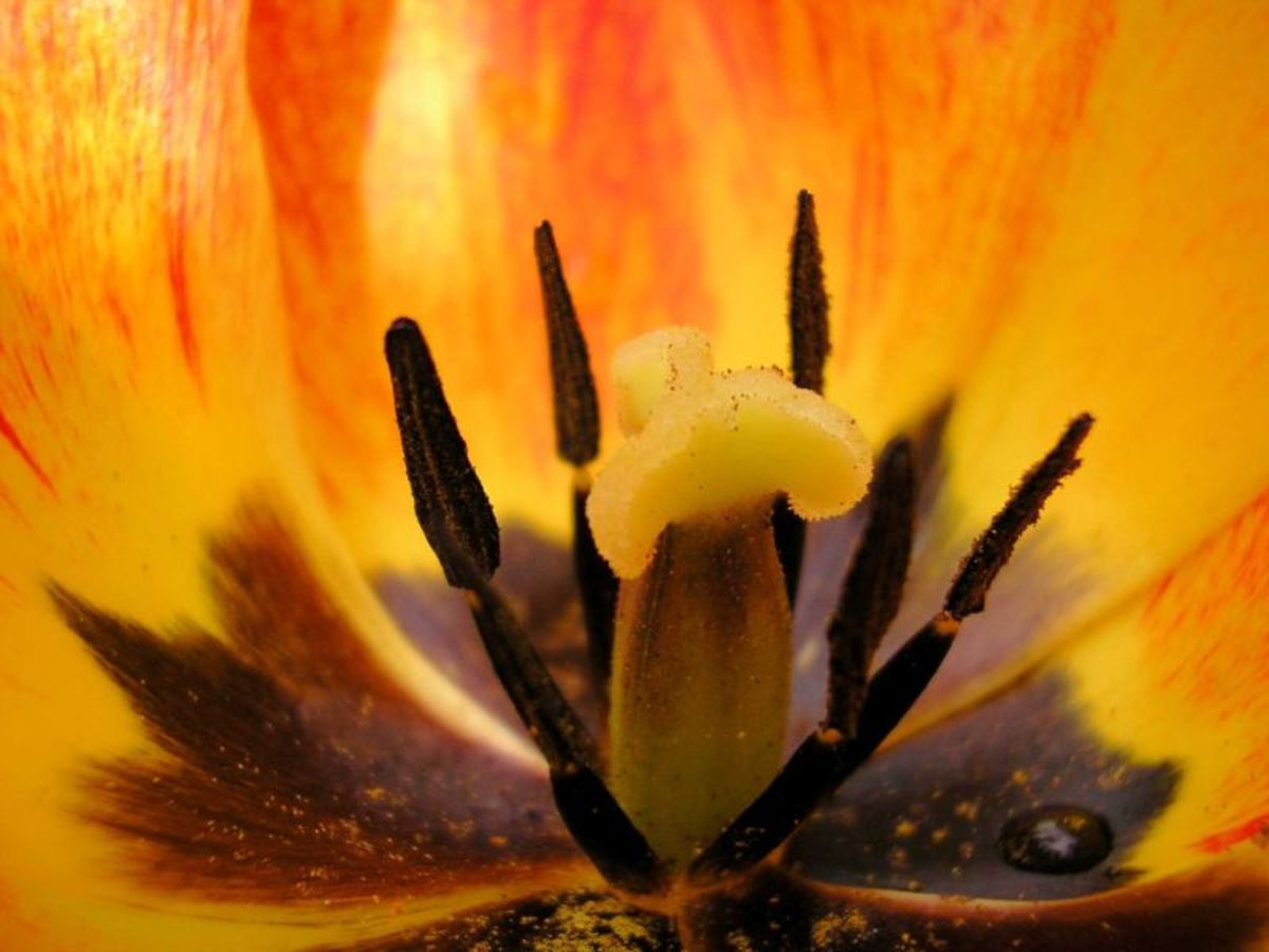 Inside this tulip you can see pollen and a single water drop.