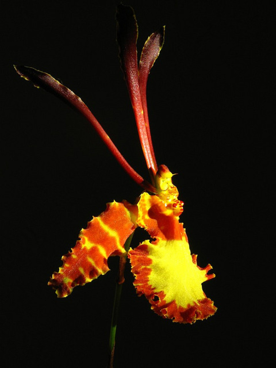 The use of marcophotography and the striking black background bring this orchid image to like, bursting with detail and color.