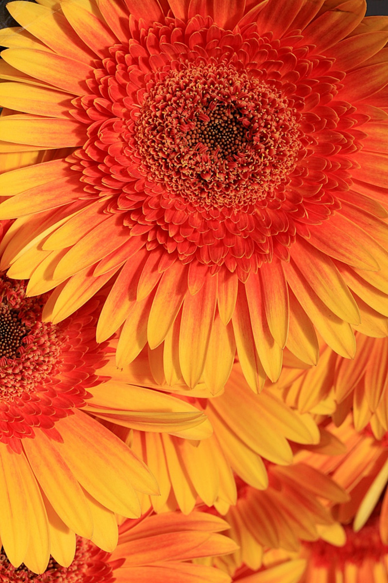 Beautiful colors and lines are exhibited by this image of a Gerbera Daisy.