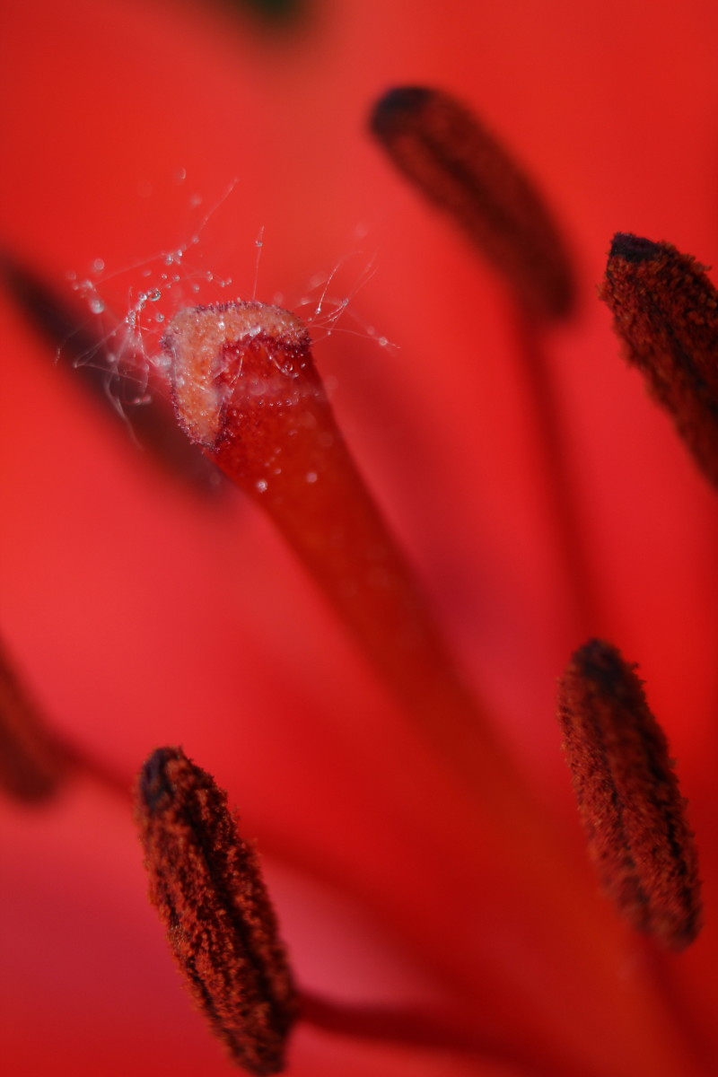 An amazing capture of the moisture on the tiny hairs on the lily stamen. See close-up below.