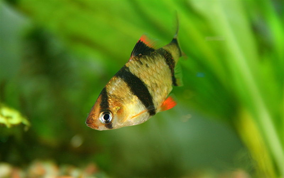 Young Tiger Barb by Faucon