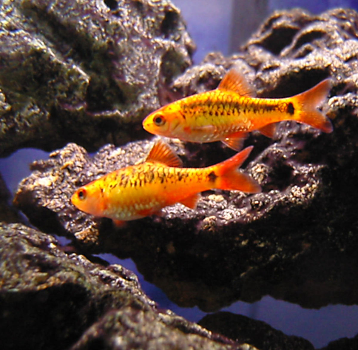 Gold Barbs, Cherry Barbs and other Barb species