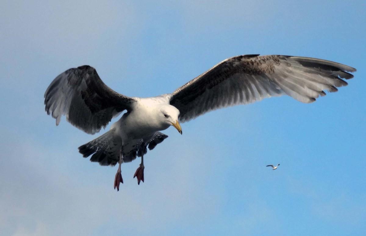 Seagull in flight on English coast