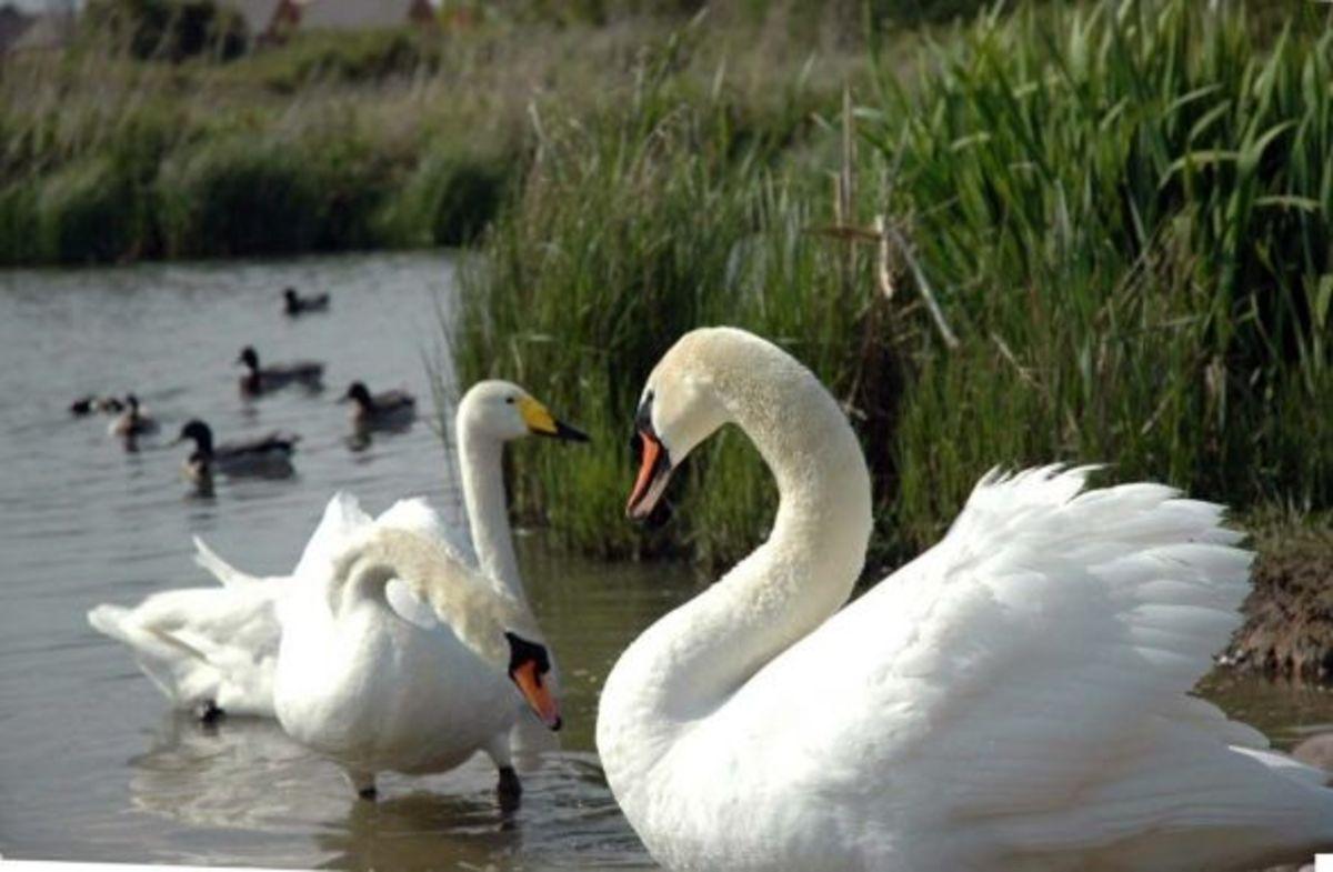 Swans in Essex