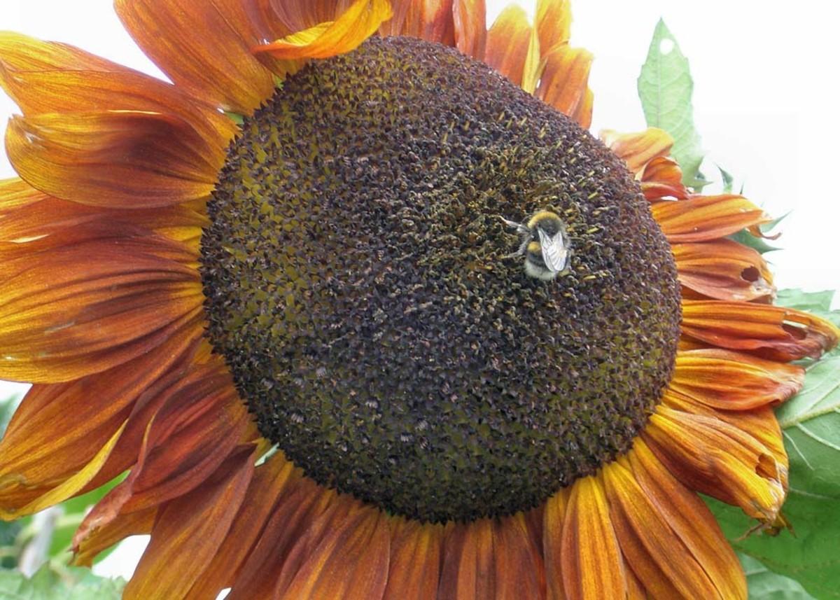 Bee on sun flower