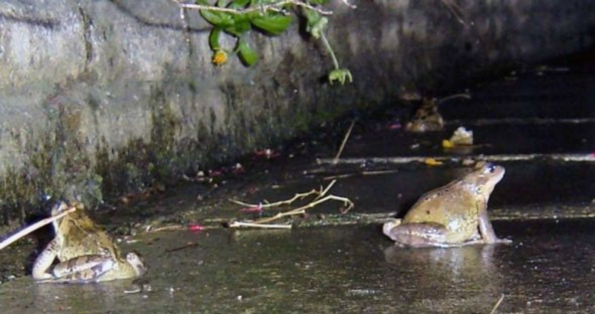 Frogs on Patrol in my back garden
