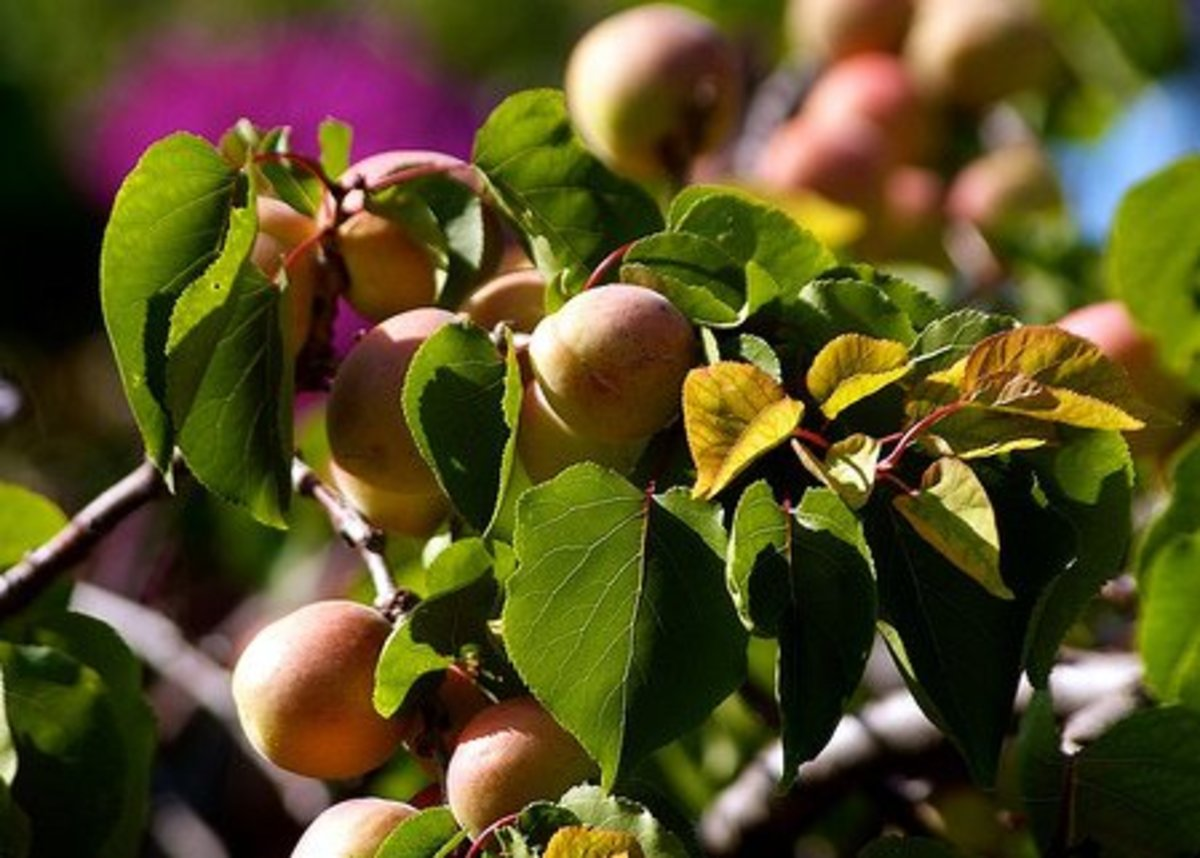 The many health benefits of apricot fruits and seeds are amazing