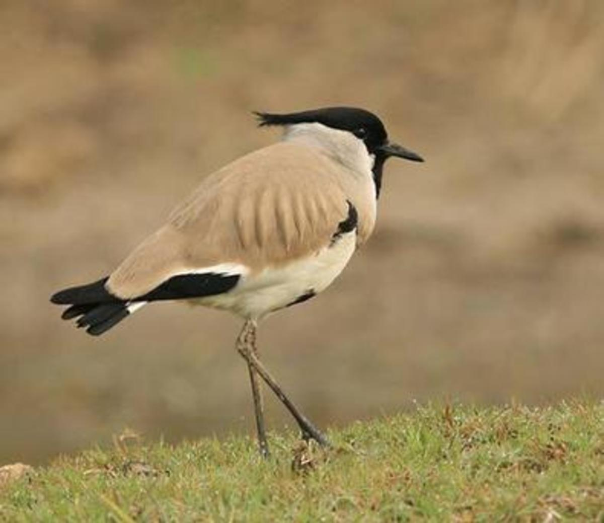 There are over 250 species of birds in Bandhavgarh National Park