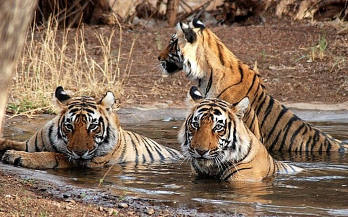 Top Tiger Reserves in India - Planning Wildlife Tours and Safaris