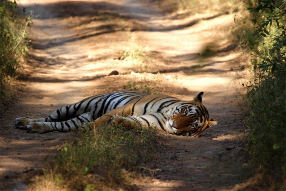 Royal Bengal Tigers are the main attraction in Bandhavgarh