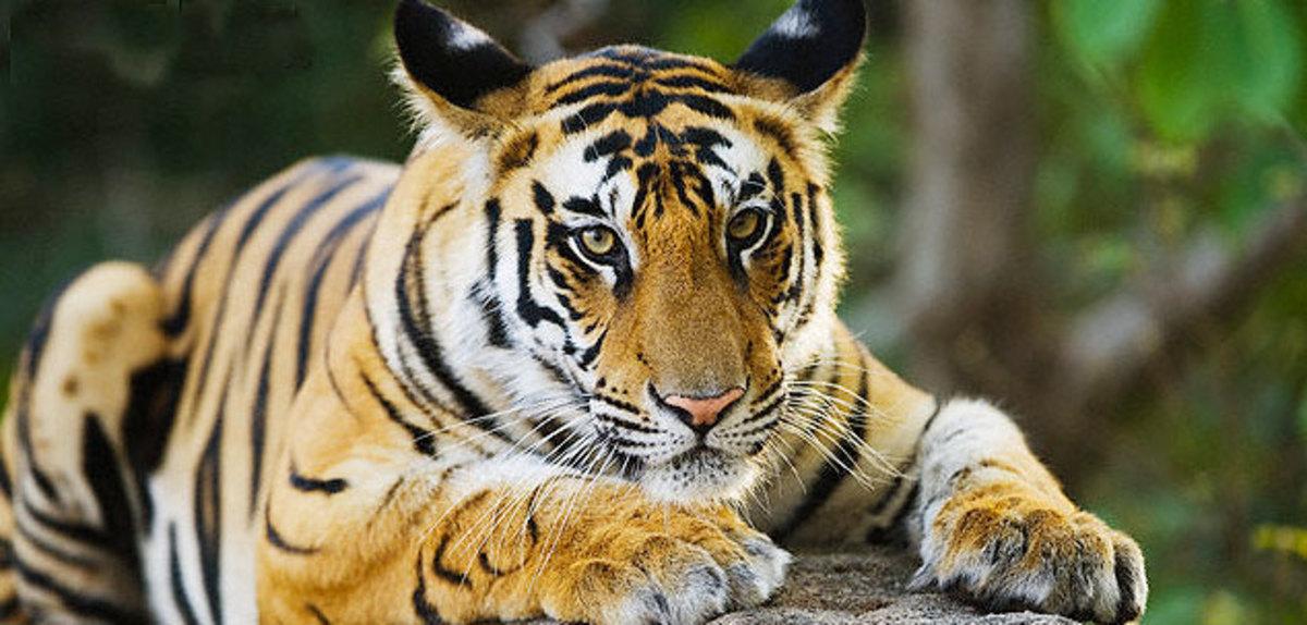 Royal Bengal Tiger, India Safaris