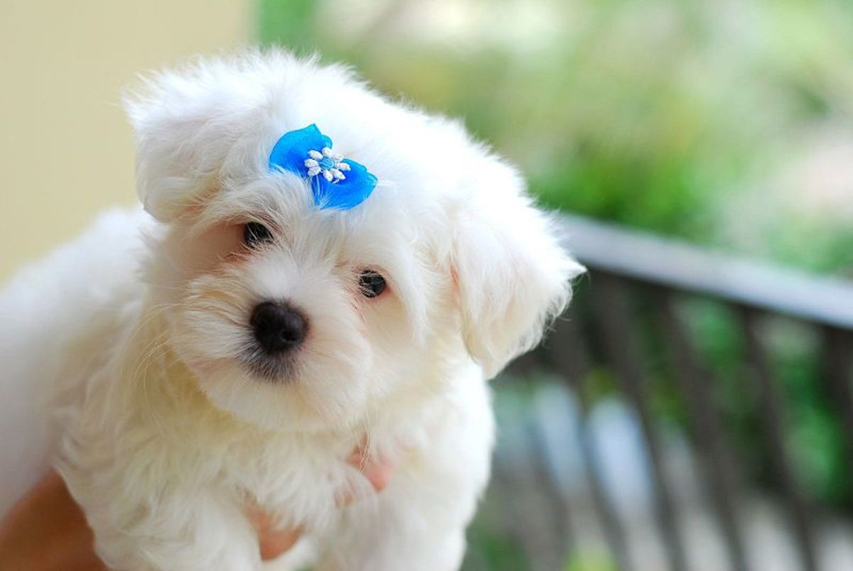 As the puppies mature, the coat begins to smooth out and start to acquire the silky look of the full-grown Maltese breed.
