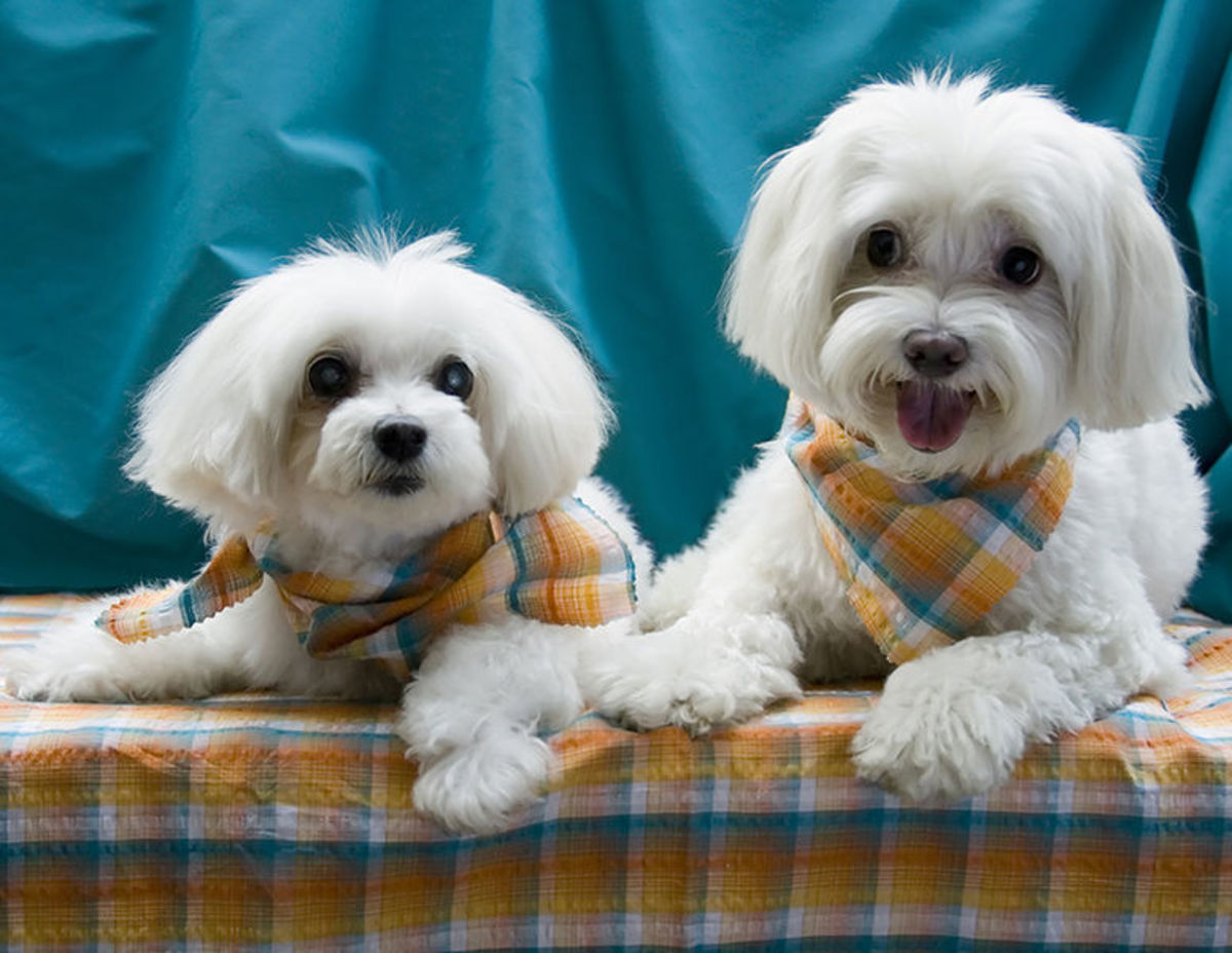 Pair of Pin-up pups from the 2007 calendar for the Metropolitan Maltese Rescue.