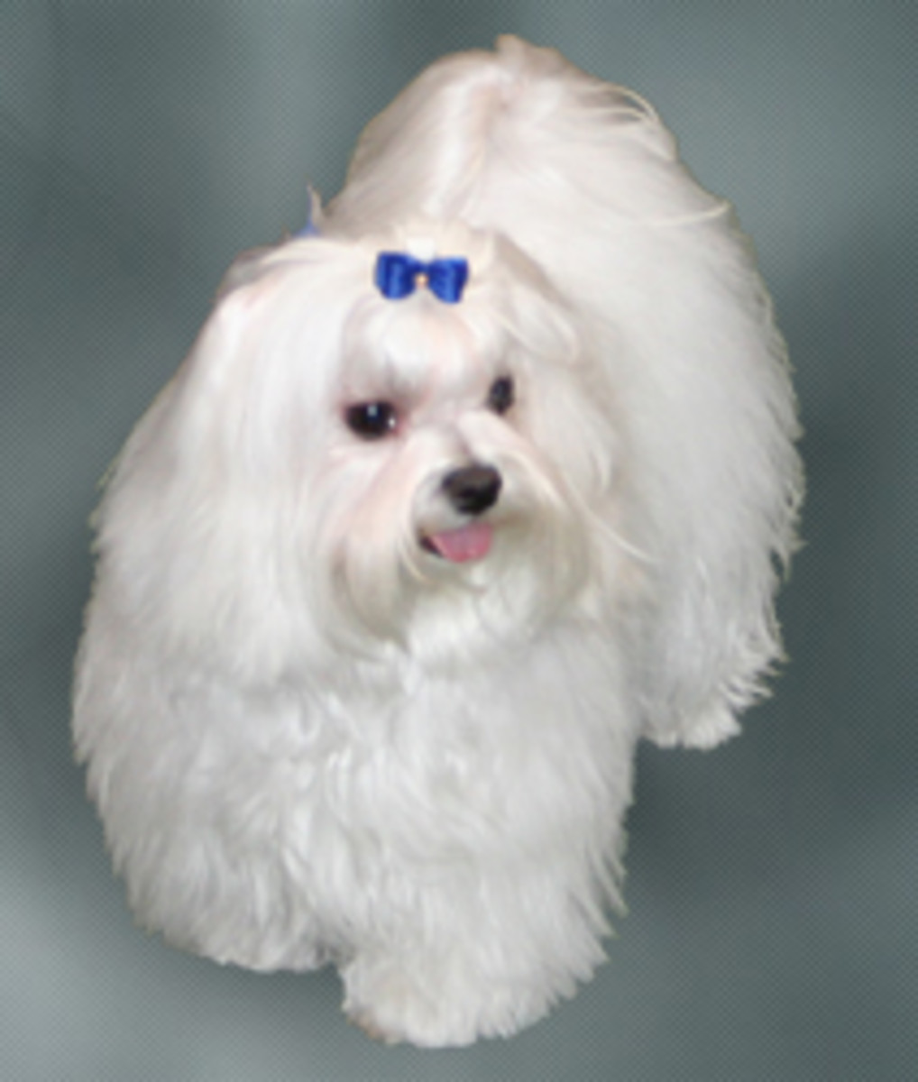 The Maltese dog breed standard calls for a pure white coat or one with slight flecks of lemon shading.