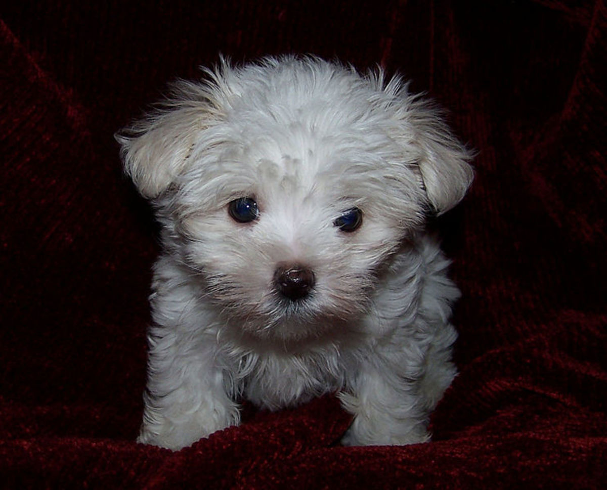 Maltese puppies are precious little bundles of fur.