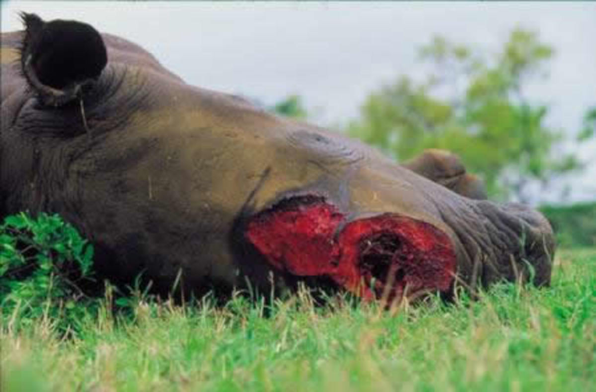 This rhino lies dead on the floor with a wound covering almost all of its face